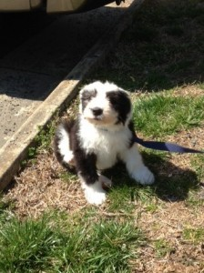 Candace's Old English Sheepdog puppy, Watson. It's elementary, my dear!