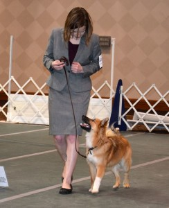 All business in the show ring with Link, the Icelandic Sheepdog.