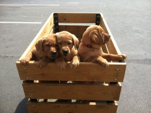 Camille's Lab puppies taking a field trip for some valuable socialization time!