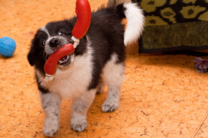 When your pup chooses the right toy - reward him with a game of tug or fetch!