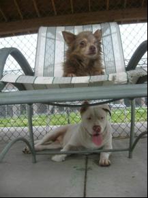 pitbull saves chihuahua