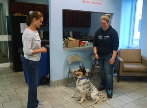 Darcy having fun and getting great results with one of the shelter dogs at St. Hubert's Animal Welfare Center.